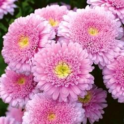 "Aster rosa de doble flor ""Sidonia"" -"