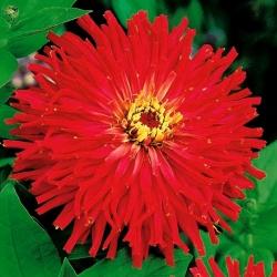 Spoločná zinnia - červená, kvet chryzantémy; mladosť a vek, elegantné cínie -