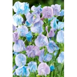 Sladký hrášok - svetlo modrý -