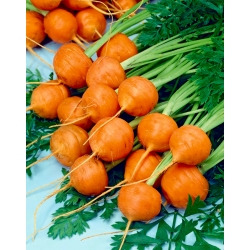 Carrot Pariser Markt 5 - early variety with spherical roots