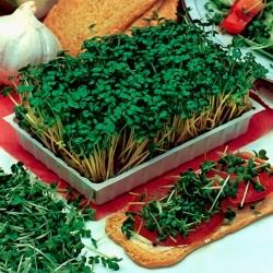 Klíčenie semien - zelená kapusta -