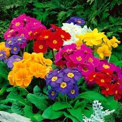 """Garden primrose """"Elatior Gigantea"""" - variety mix"""