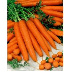Carrot Berlikumer 2 - Berlo - medium late variety