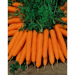Carrot Delta - late variety