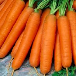 Carrot Nantes 5 - Fanta - medium early variety