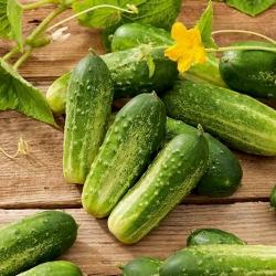 Field cucumber Starter F1