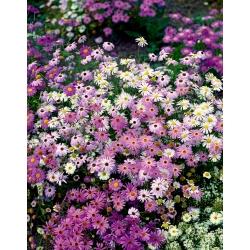 Hoa cúc sông Swan - sự kết hợp đa dạng cho bồn hoa và ban công -