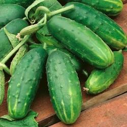 Field cucumber Ikar F1 - thorough disease resistance