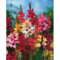 Ixia Mixed - Corn lily colour selection - XXXL package! - 1250 bulbs