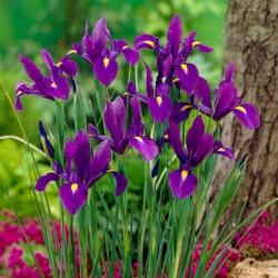 Holland írisz - Purple Sensation - XXXL Pack! - 500 db -