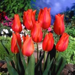 Tulip 'Temple of Beauty' - paquete grande - 50 piezas -