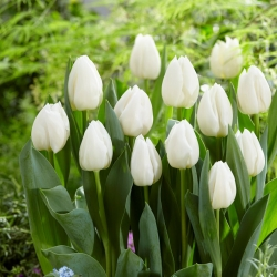 Tulip 'White Prince' - large package - 50 pcs