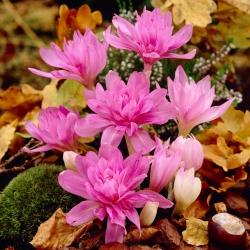 Dupla őszi sáfrány 'Waterlily' - nagy csomag - 10 db; réti sáfrány, meztelen hölgy -