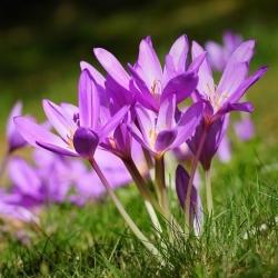 Őszi sáfrány - 'Violet Queen' - nagy csomag - 10 db; réti sáfrány, meztelen hölgy -