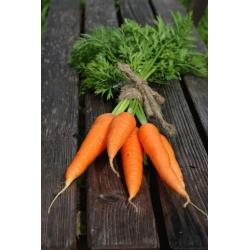 """Gulrot """"Berlikumer 2 - Perfeksjon"""" - NANO-GRO - øk innhøstingsvolumet med 30% -"""