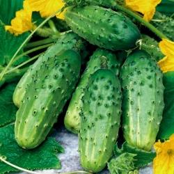 Field cucumber Hermes Skierniewicki F1 - COATED SEEDS
