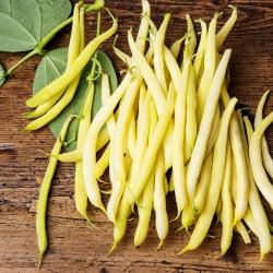 """Gul fransk bønne """"Golden Saxa"""" - NANO-GRO - øk innhøstingsvolumet med 30%"""
