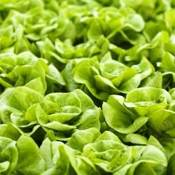 """Solata iz metuljev """"Kraljica maja"""" - NANO-GRO - povečala količino pridelka za 30% -"""