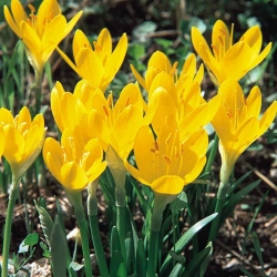 Téli nárcisz - XXXL csomag! - 50 db; őszi nárcisz, őszi nárcisz, mezei liliom, sárga őszi sáfrány -