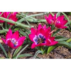Tulip 'Little Beauty' - XXXL package! - 250 pcs
