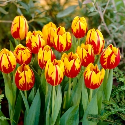 Tulip 'Mickey Mouse' - large package - 50 pcs