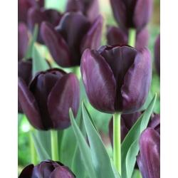 Tulip 'Queen of Night' - paquete grande - 50 piezas -