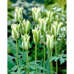 Tulip 'Spring Green' - paquete grande - 50 piezas -