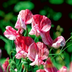 Sweet pea Old Spice America