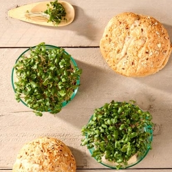 Microgreens - Swedia - daun muda yang baru mencicipi segar; rutabaga -
