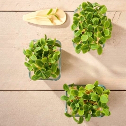 Microgreens - Bunga Matahari - daun segar yang segar dengan rasa muda -