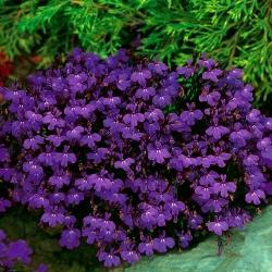 Lobelia de ribete púrpura; lobelia de jardín -