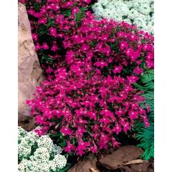 Pink edging lobelia; garden lobelia
