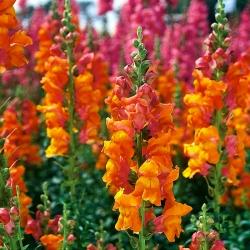 Ψηλό πορτοκαλί λουλούδι -