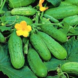 Cucumber Brilant F1 - untuk penanaman di rumah hijau -