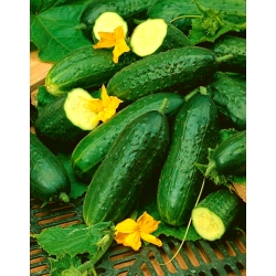 Αγγούρι Rubin Medalista F1 - για καλλιέργεια σε θερμοκήπια -