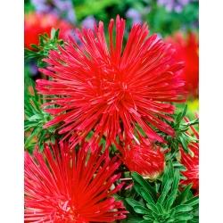 Red needle petal aster Ognisty Ptak (Firebird)