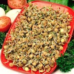 Klíčenie semien - zelená šošovica -