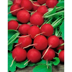 Radish 'Carmine' - round, large, delicious roots