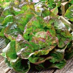 Jubilatka selada butterhead merah-hijau -