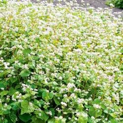 Soba organik - tumbuhan pelbagai jenis - 100 gram -