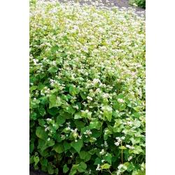 Szerves hajdina - mellényes növény - 100 gramm -