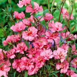 Clarkia elegan merah muda terang; karangan bunga gunung -