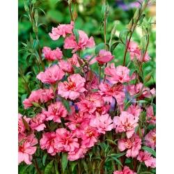 Šviesiai rožinė elegantiška klarkija; kalnų girlianda -