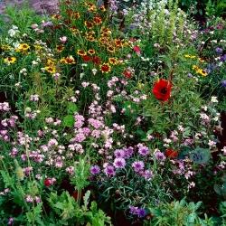 Flowery Meadow Express - segage üle 20 kiiresti kasvava sordi - 500 grammi -