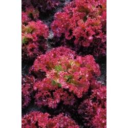 Punane kihisev lehtsalat Lollo Rossa -