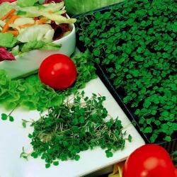 Klíčenie semien - kaleráb -