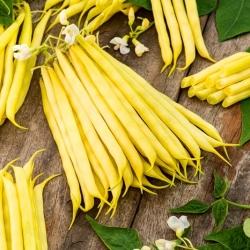 Fructidor kacang Perancis kuning kerdil -