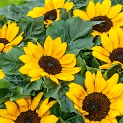 Ornamental sunflower Suntastic F1 - low growing variety for flower beds