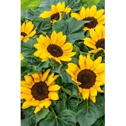 Bunga matahari hias Suntastic F1 - varietas tumbuh rendah untuk hamparan bunga -