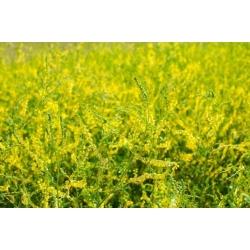 Dzeltenais saldais āboliņš - mellenis augs - 100 grami; dzeltens melilots, rievots melilots, parastais melilots -